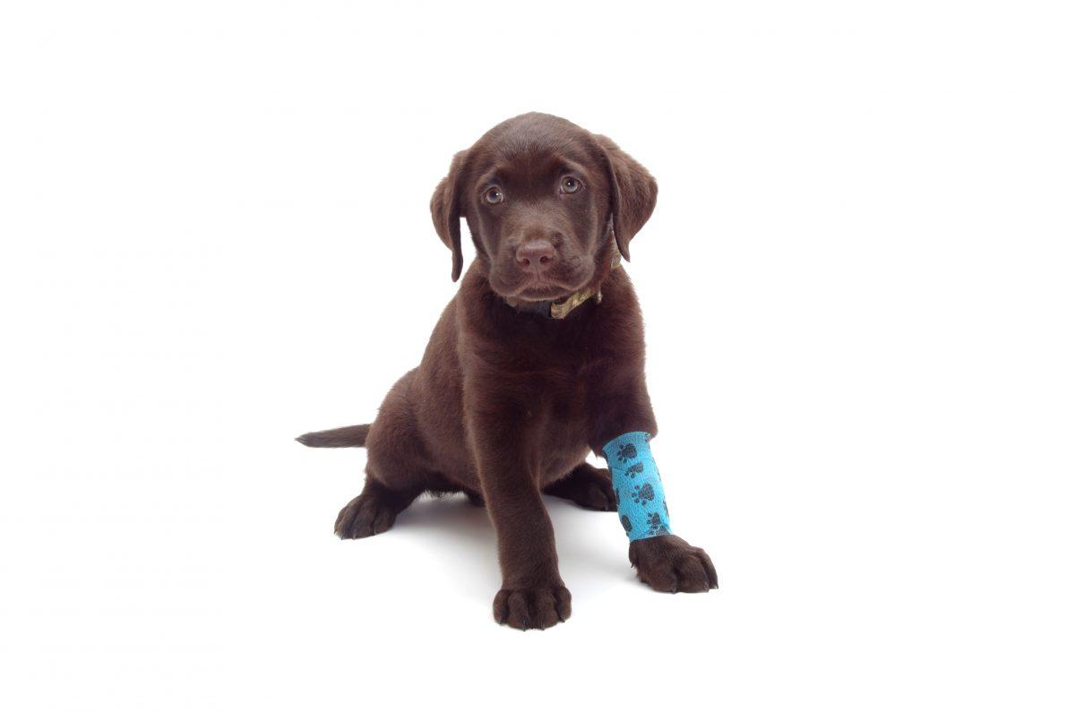 Dog with injury