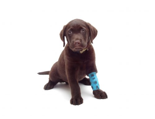 Oh No! My Pet Experienced an Injury While Playing. What Do I Do?