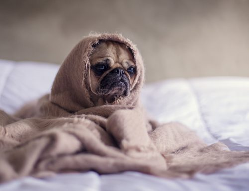 Can Dogs Get the Flu? – Yes!