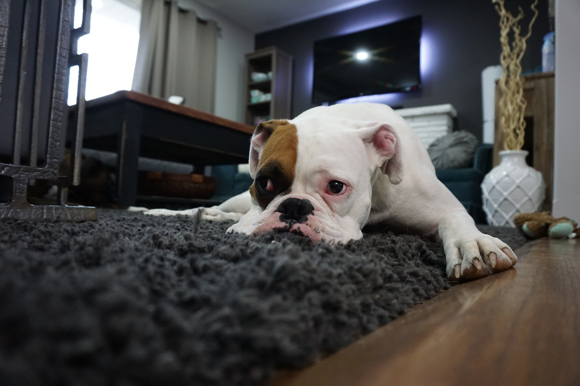 boxer dog laying on the floor
