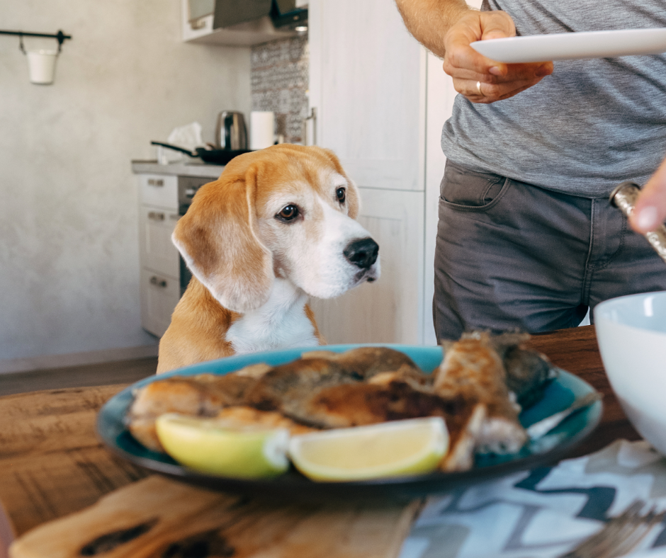 beagle looking at plate of food on table