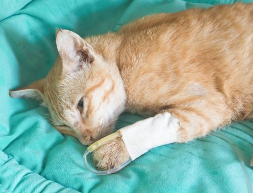 Service Highlight: Pain Management at Westfield Veterinary Group