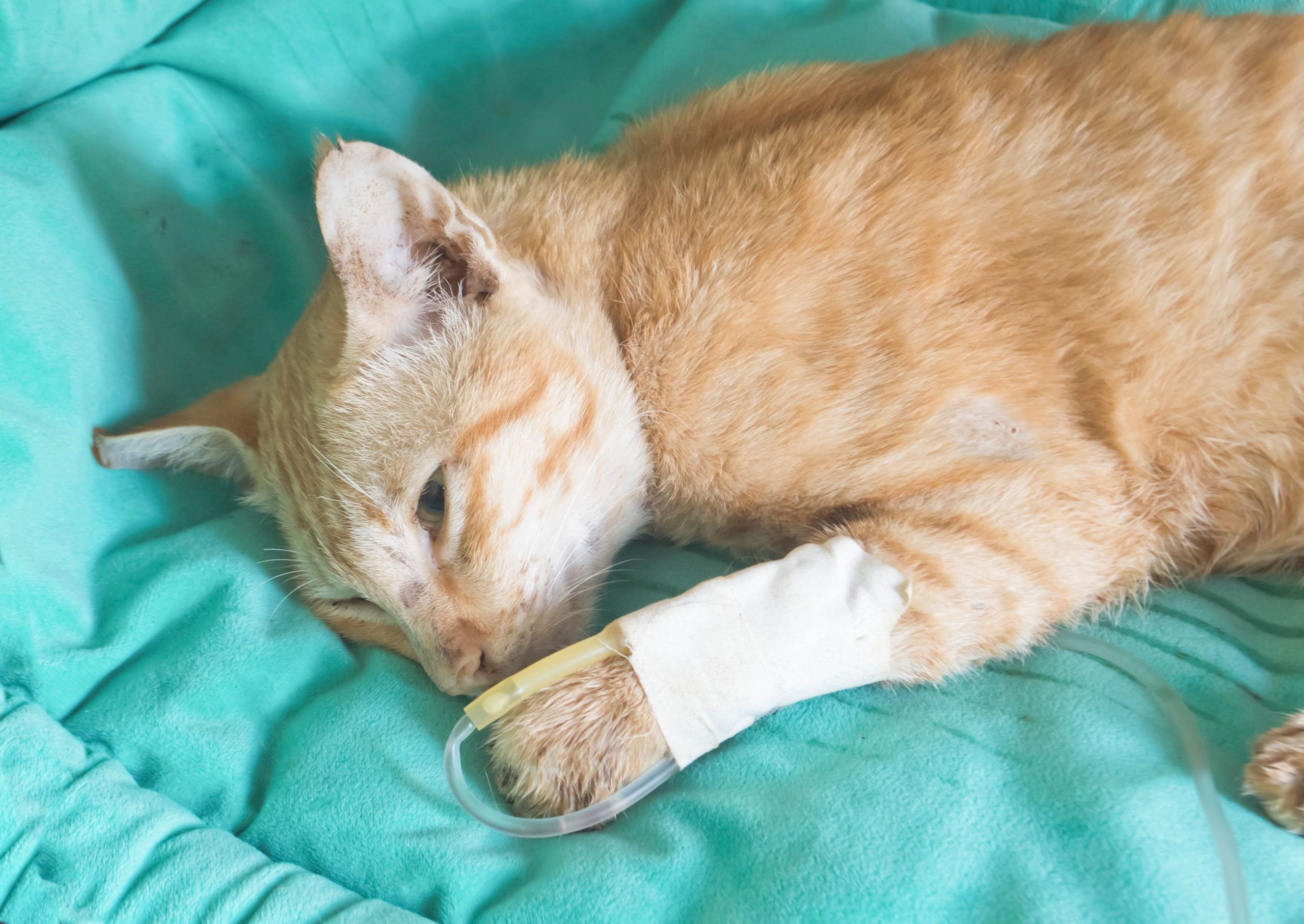 orange cat laying on blue blanket with fluid therapy IV in foreleg