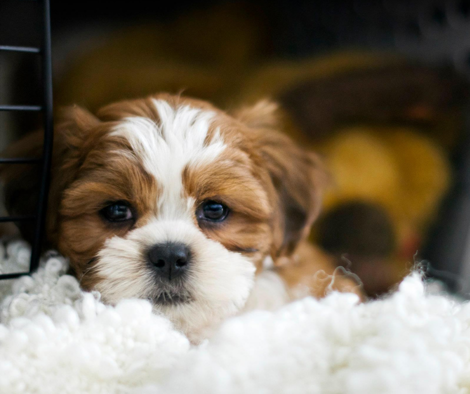 brown and white havanese puppy laying down in crate