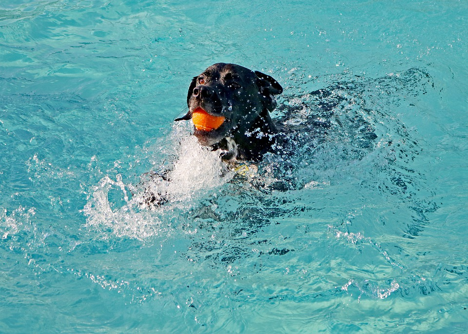 dog swimming in pool with ball