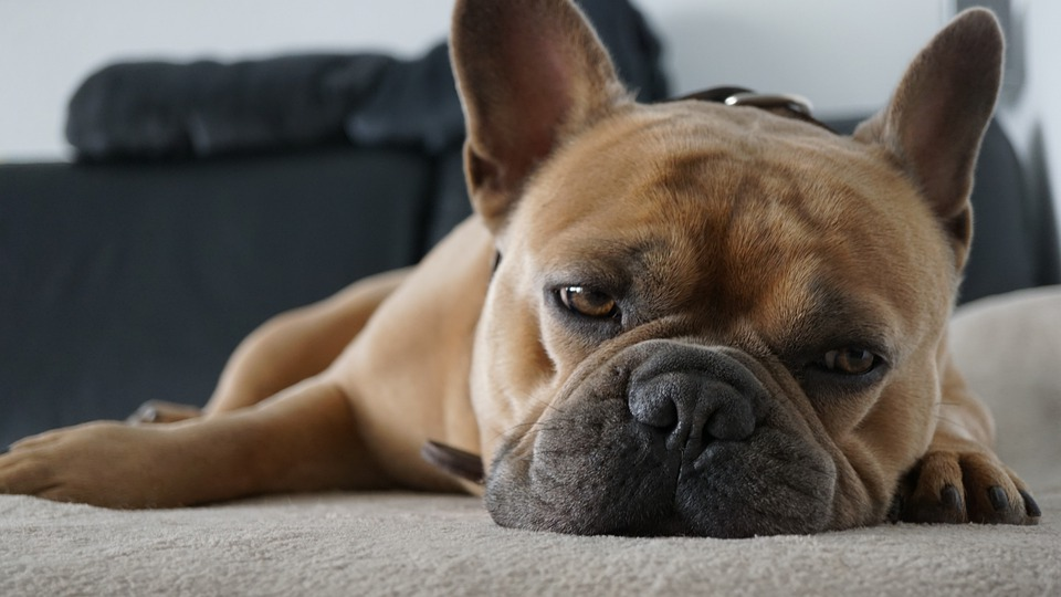 french bulldog laying on the floor