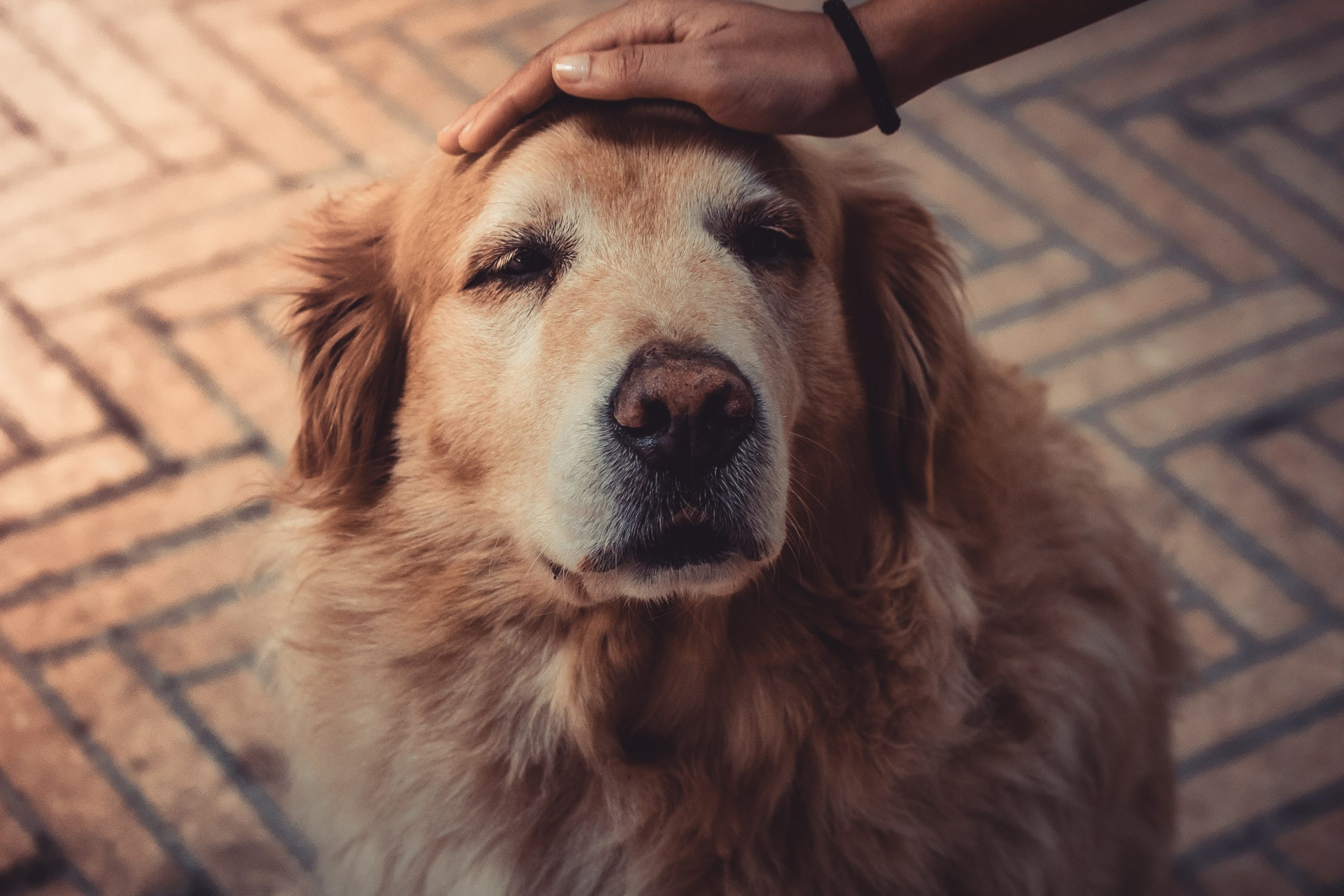 Grey-muzzled golden retriever with Caucasian hand petting top of head